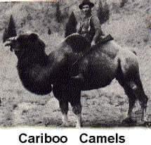 Cariboo Camels