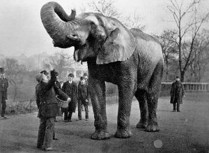 Black and White photo of Jumbo The Elephant catching peanuts